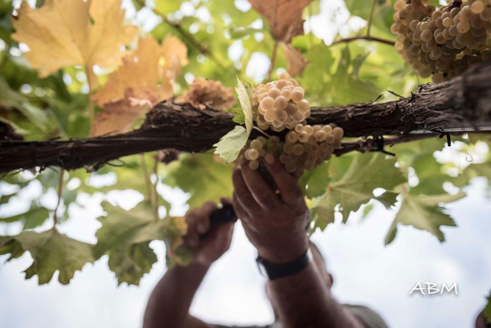 raccolta dell'uva dei vignaioli del morellino di scansano