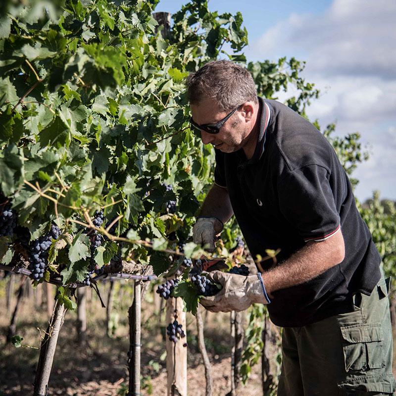 vignaioli del morellino di scansano che raccolgono l'uva