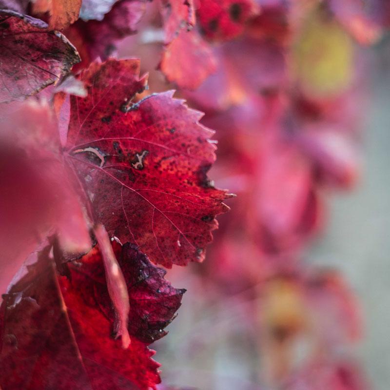 autunno in vigna